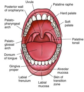 This is a picture of the inside of the whole mouth